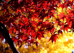 red_and_yellow_leaves
